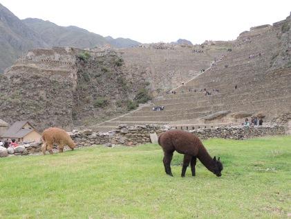 les lamas dans les ruines