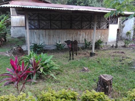 Lola la petite vache de la ferme