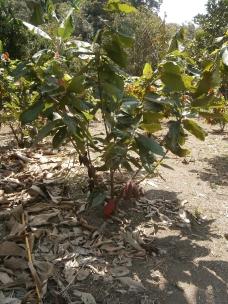 Un arbuste de cacao